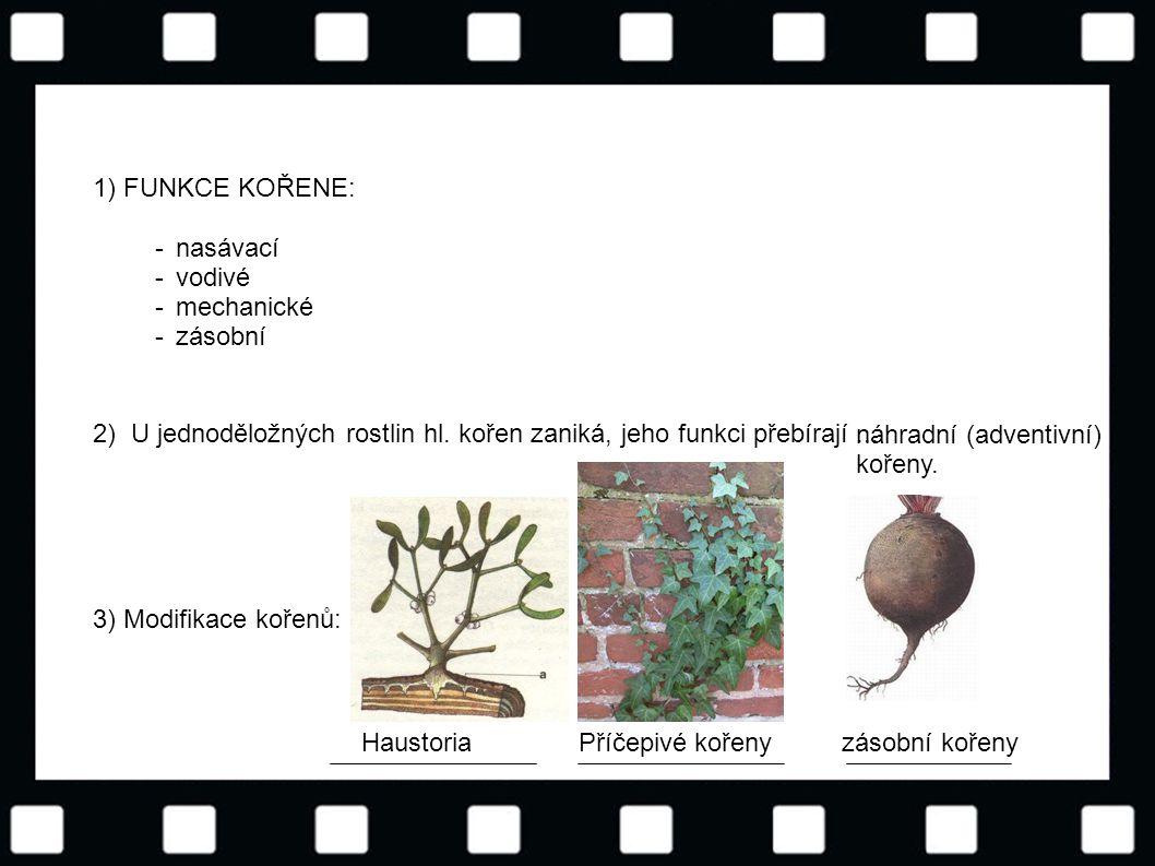 1) FUNKCE KOŘENE: - nasávací. vodivé. mechanické. zásobní. 2) U jednoděložných rostlin hl. kořen zaniká, jeho funkci přebírají.