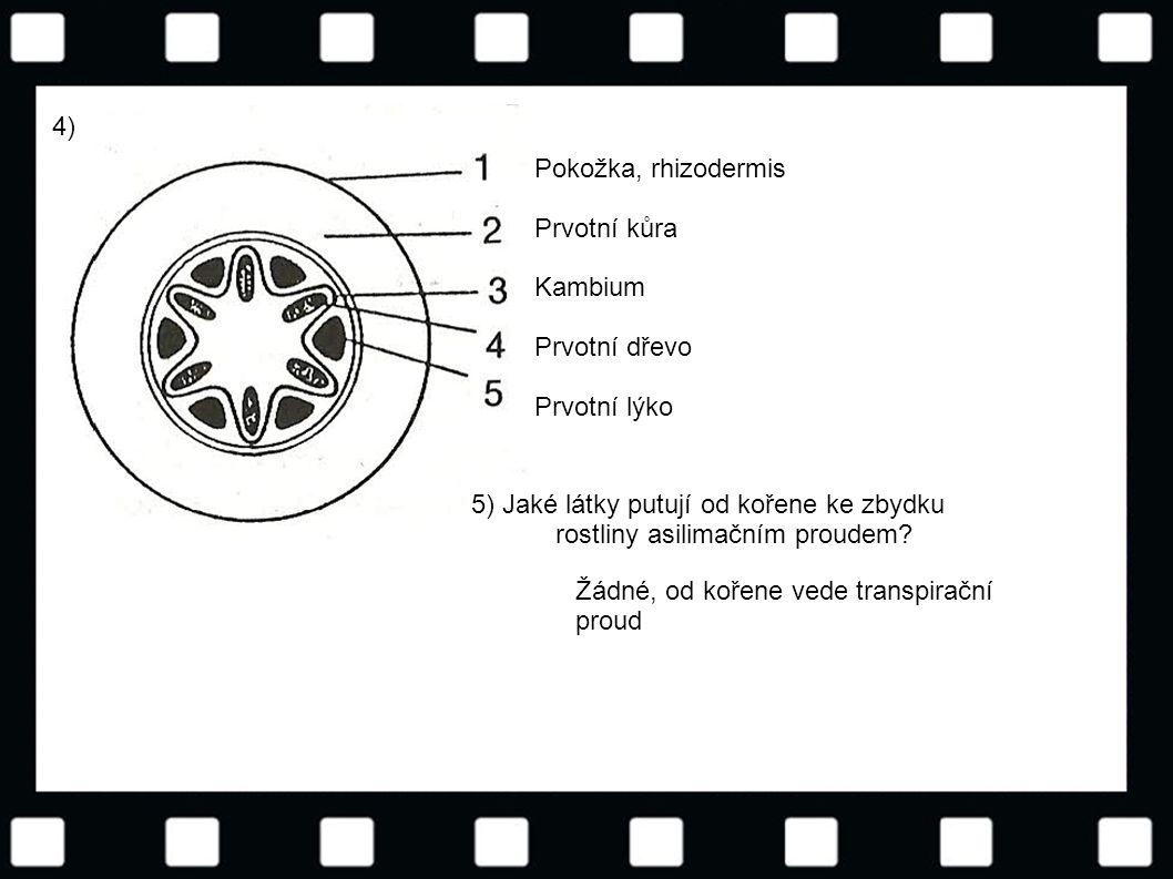 4) Pokožka, rhizodermis. Prvotní kůra. Kambium. Prvotní dřevo. Prvotní lýko.