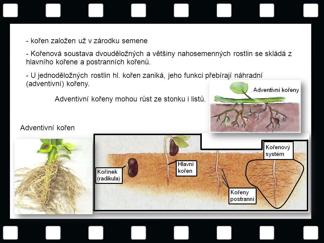 - kořen založen už v zárodku semene