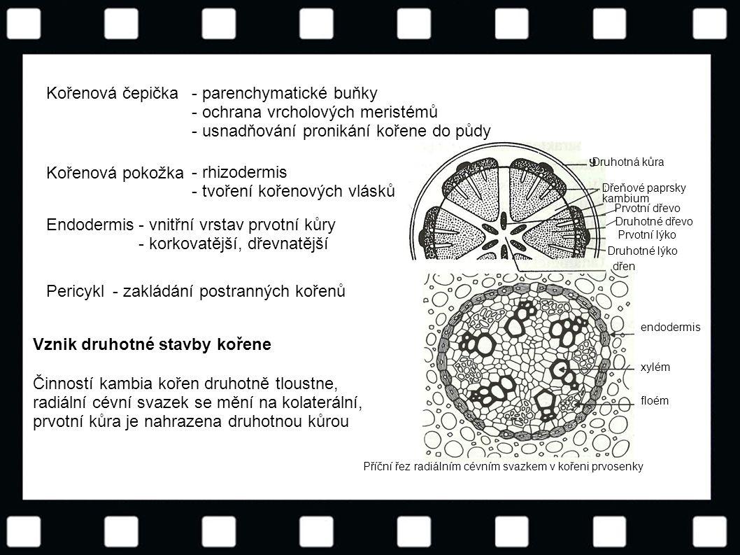 - parenchymatické buňky - ochrana vrcholových meristémů