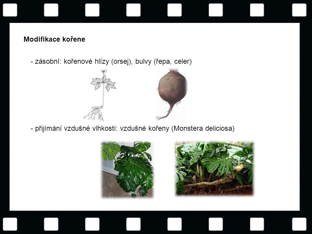 Modifikace kořene - zásobní: kořenové hlízy (orsej), bulvy (řepa, celer) - přijímání vzdušné vlhkosti: vzdušné kořeny (Monstera deliciosa)