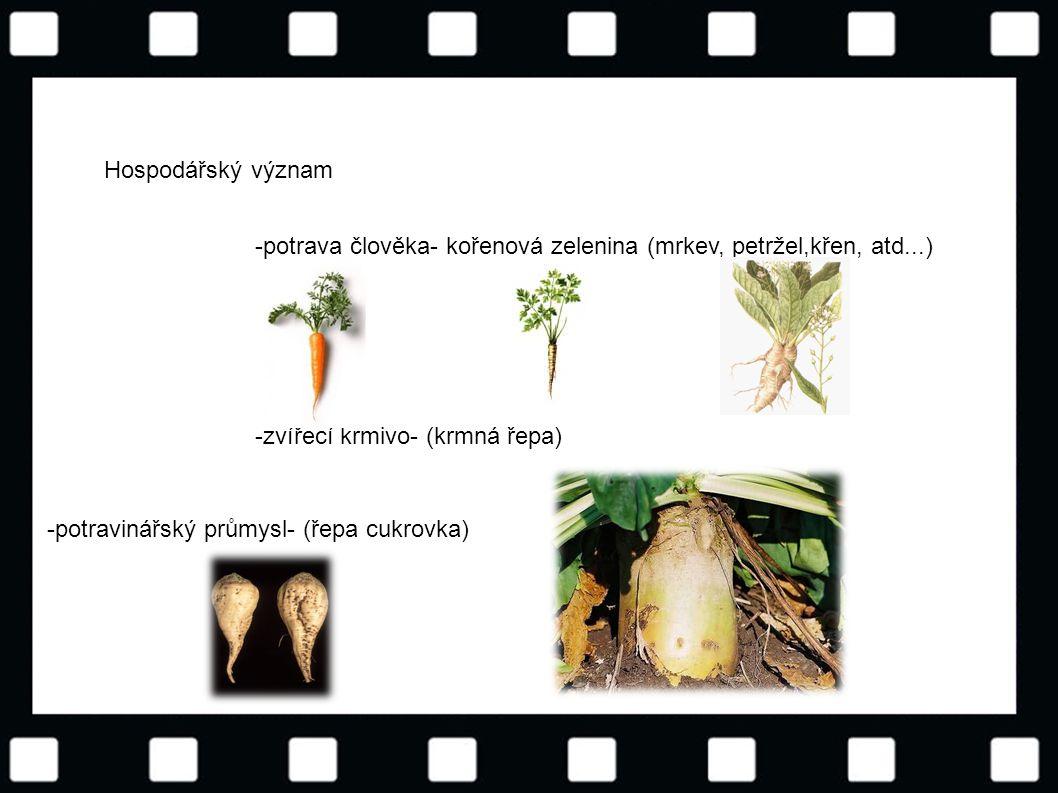 Hospodářský význam -potrava člověka- kořenová zelenina (mrkev, petržel,křen, atd...) -zvířecí krmivo- (krmná řepa)