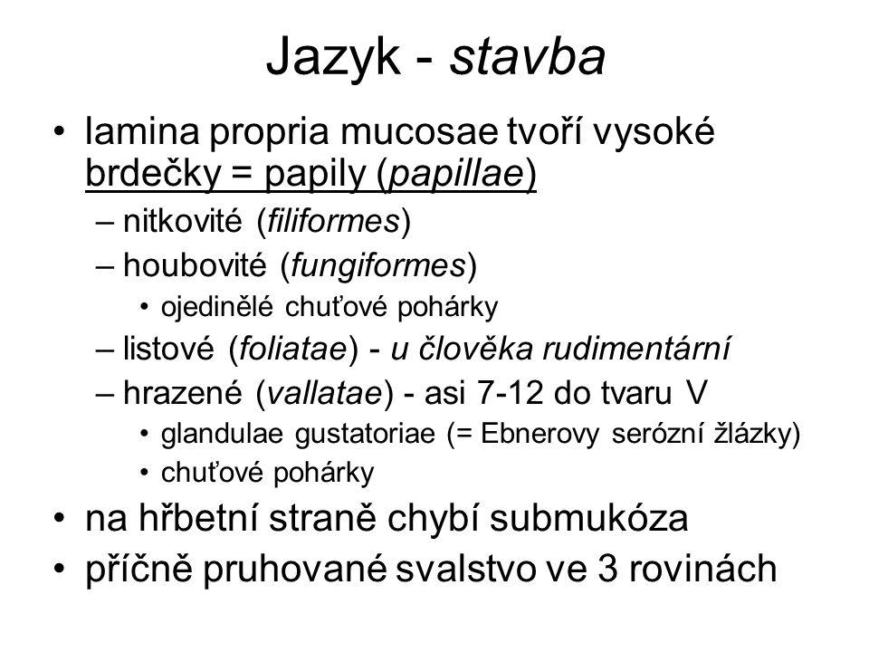 Jazyk - stavba lamina propria mucosae tvoří vysoké brdečky = papily (papillae) nitkovité (filiformes)