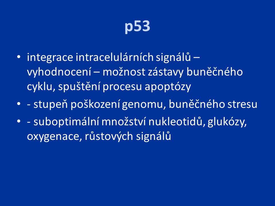 p53 integrace intracelulárních signálů – vyhodnocení – možnost zástavy buněčného cyklu, spuštění procesu apoptózy.