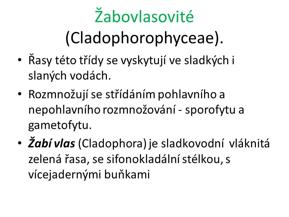 Žabovlasovité (Cladophorophyceae).