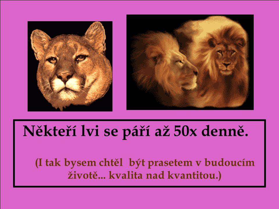 Někteří lvi se páří až 50x denně.