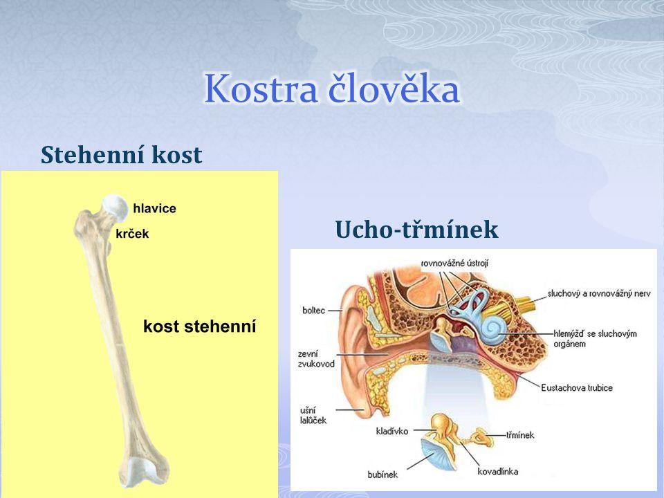 Kostra člověka Stehenní kost Ucho-třmínek