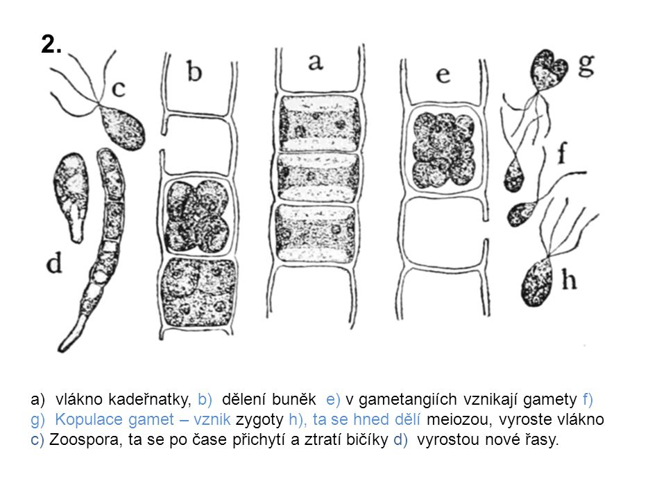 2. vlákno kadeřnatky, b) dělení buněk e) v gametangiích vznikají gamety f)