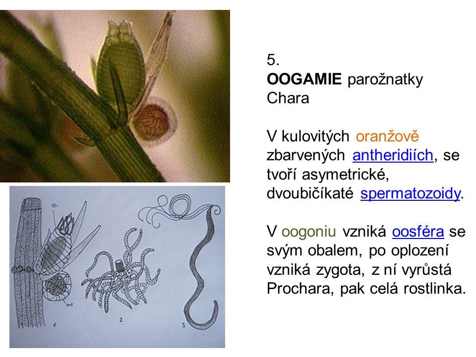 5. OOGAMIE parožnatky Chara. V kulovitých oranžově zbarvených antheridiích, se tvoří asymetrické, dvoubičíkaté spermatozoidy.