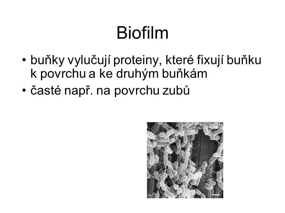 Biofilm buňky vylučují proteiny, které fixují buňku k povrchu a ke druhým buňkám.