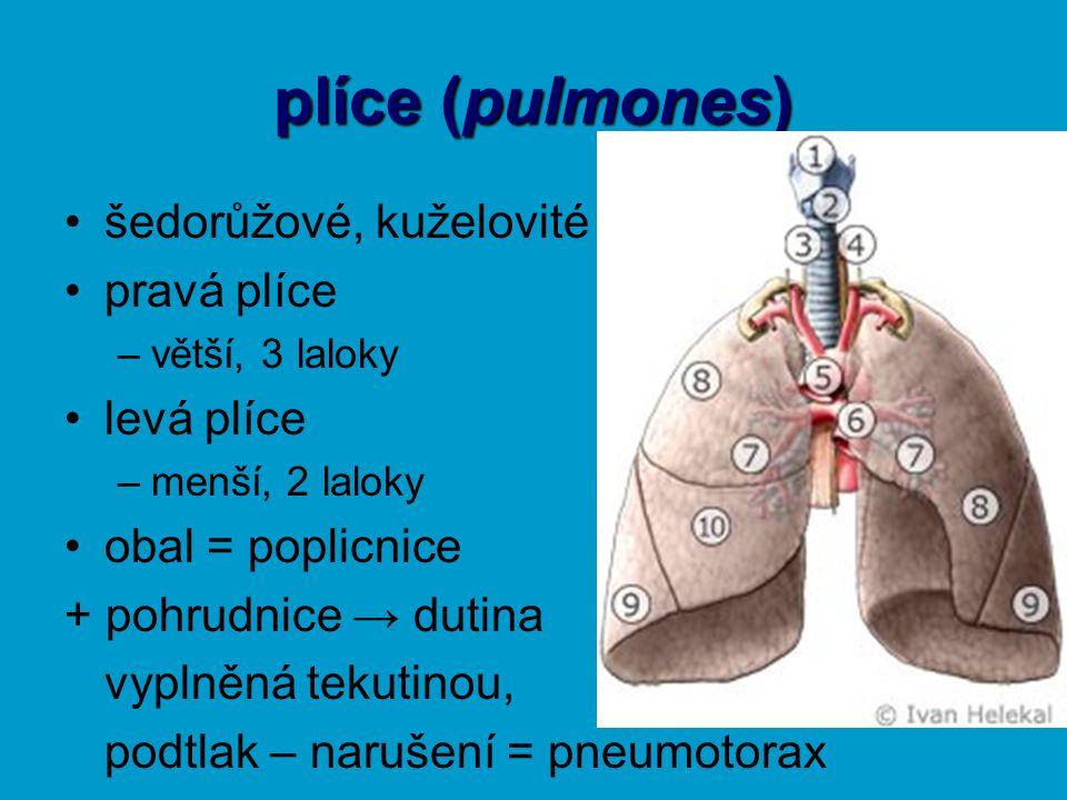 plíce (pulmones) šedorůžové, kuželovité pravá plíce levá plíce