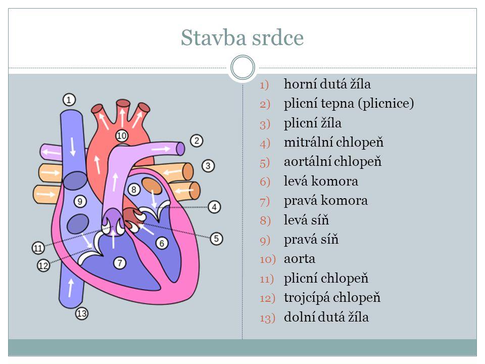 Stavba srdce horní dutá žíla plicní tepna (plicnice) plicní žíla