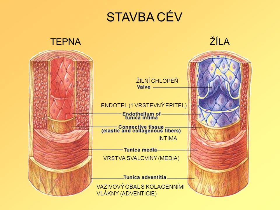 STAVBA CÉV TEPNA ŽÍLA ŽILNÍ CHLOPEŇ ENDOTEL (1 VRSTEVNÝ EPITEL) INTIMA
