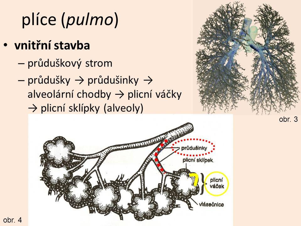 plíce (pulmo) vnitřní stavba průduškový strom