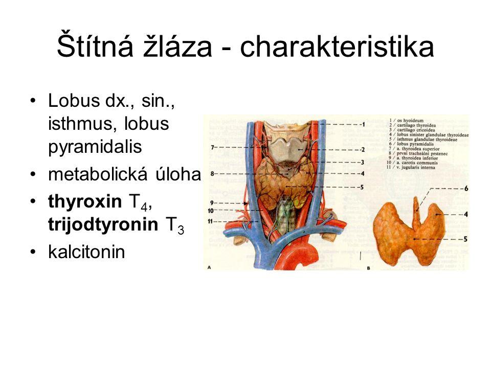 Štítná žláza - charakteristika