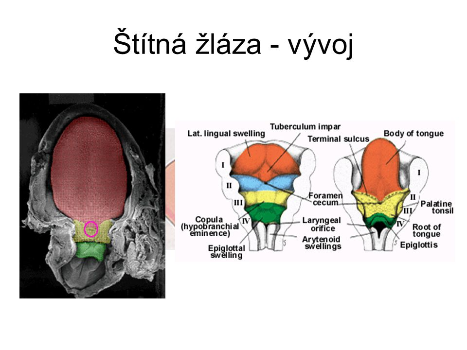Štítná žláza - vývoj