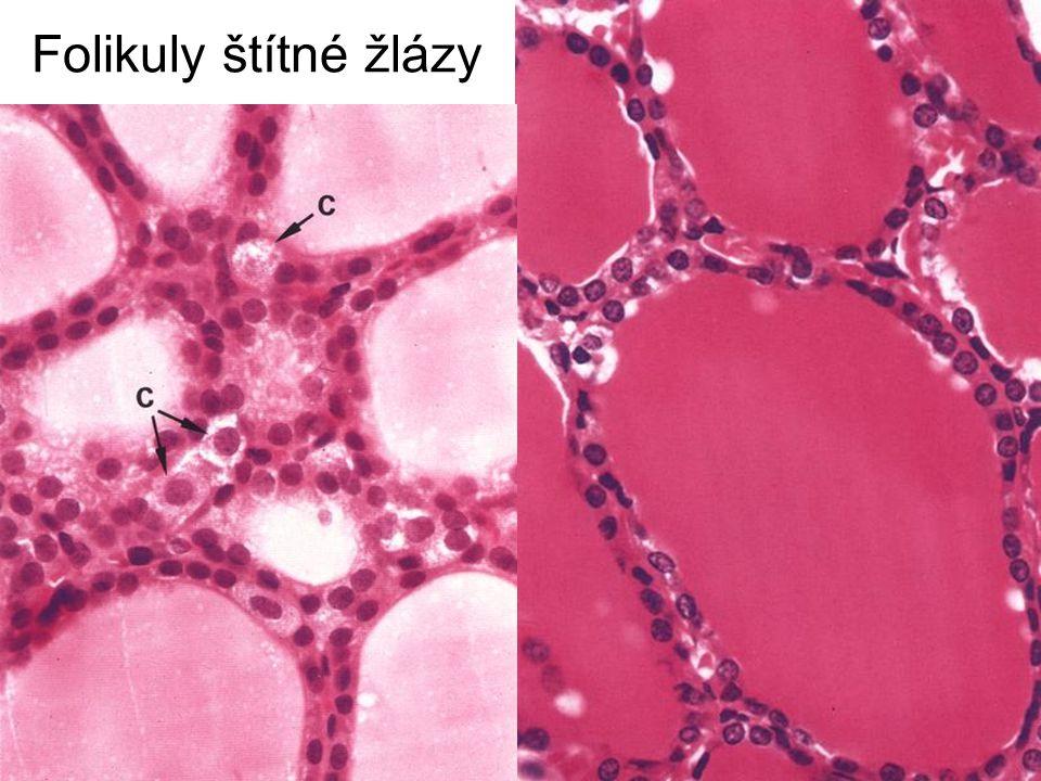 Folikuly štítné žlázy