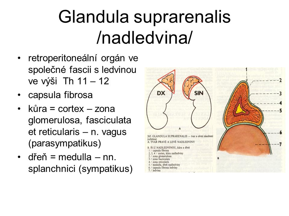 Glandula suprarenalis /nadledvina/