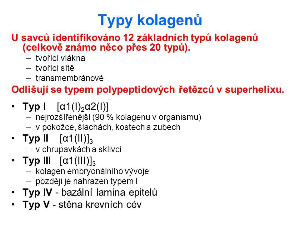 Typy kolagenů U savců identifikováno 12 základních typů kolagenů (celkově známo něco přes 20 typů).