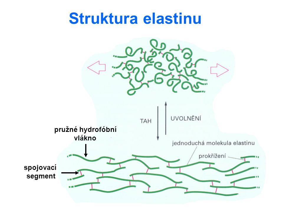 Struktura elastinu pružné hydrofóbní vlákno spojovací segment