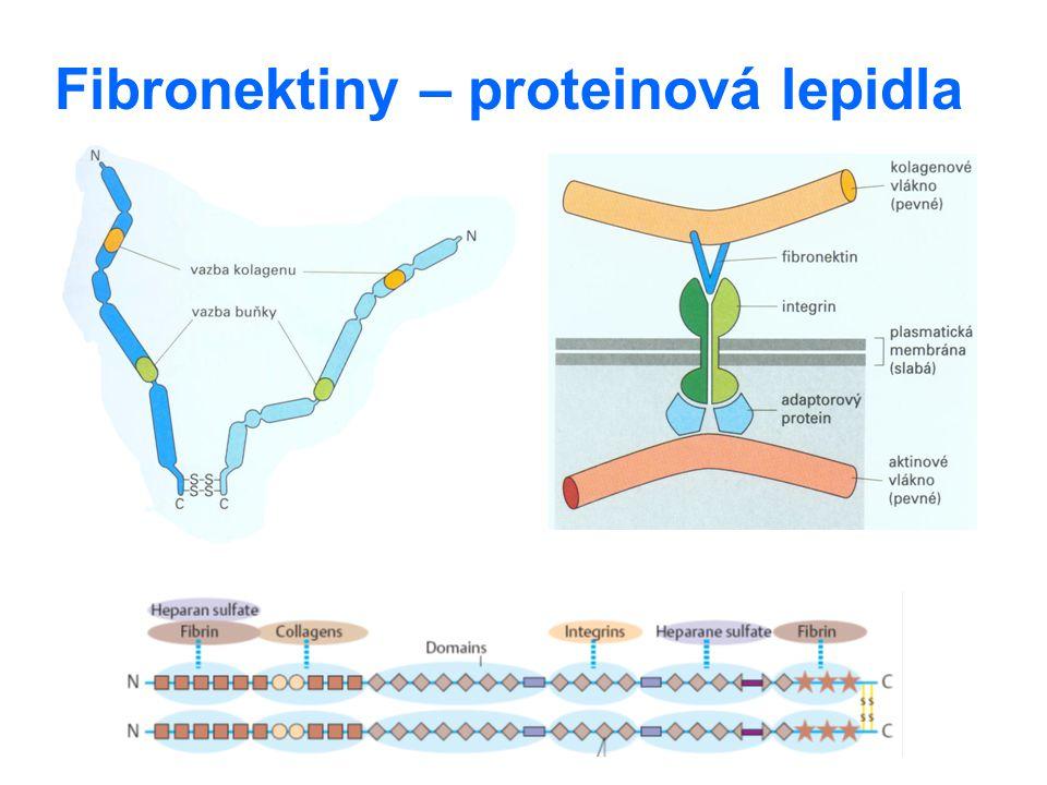 Fibronektiny – proteinová lepidla