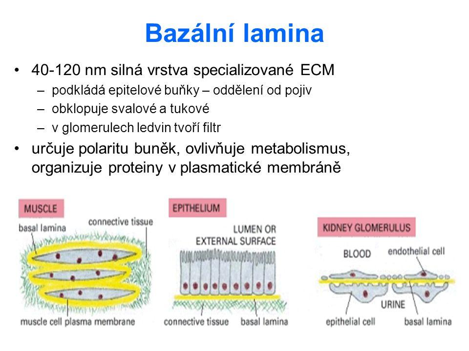 Bazální lamina 40-120 nm silná vrstva specializované ECM