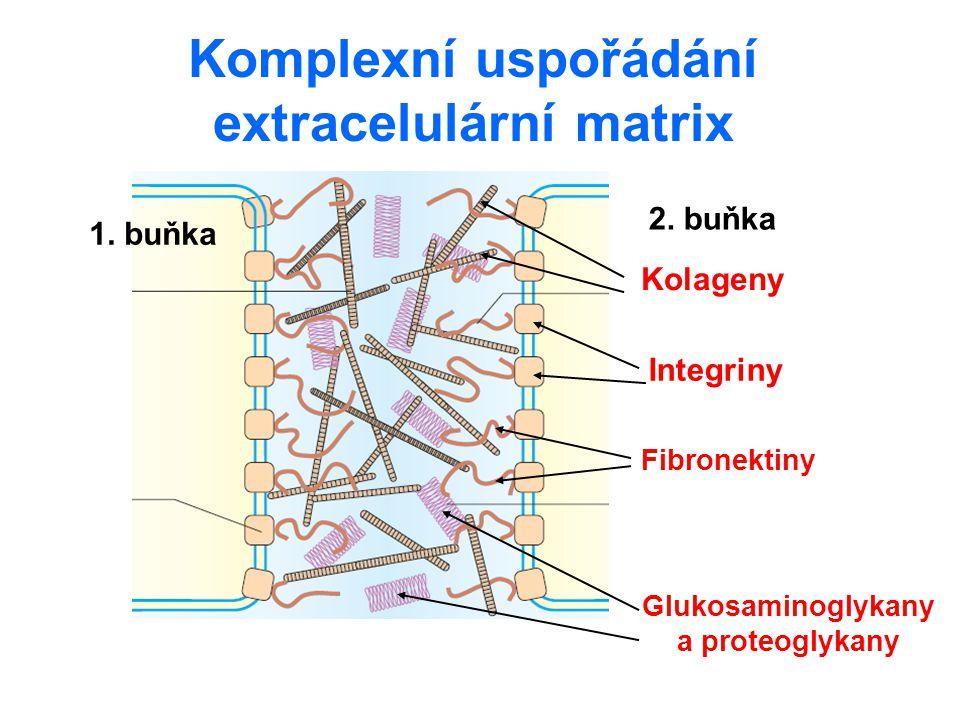 Komplexní uspořádání extracelulární matrix