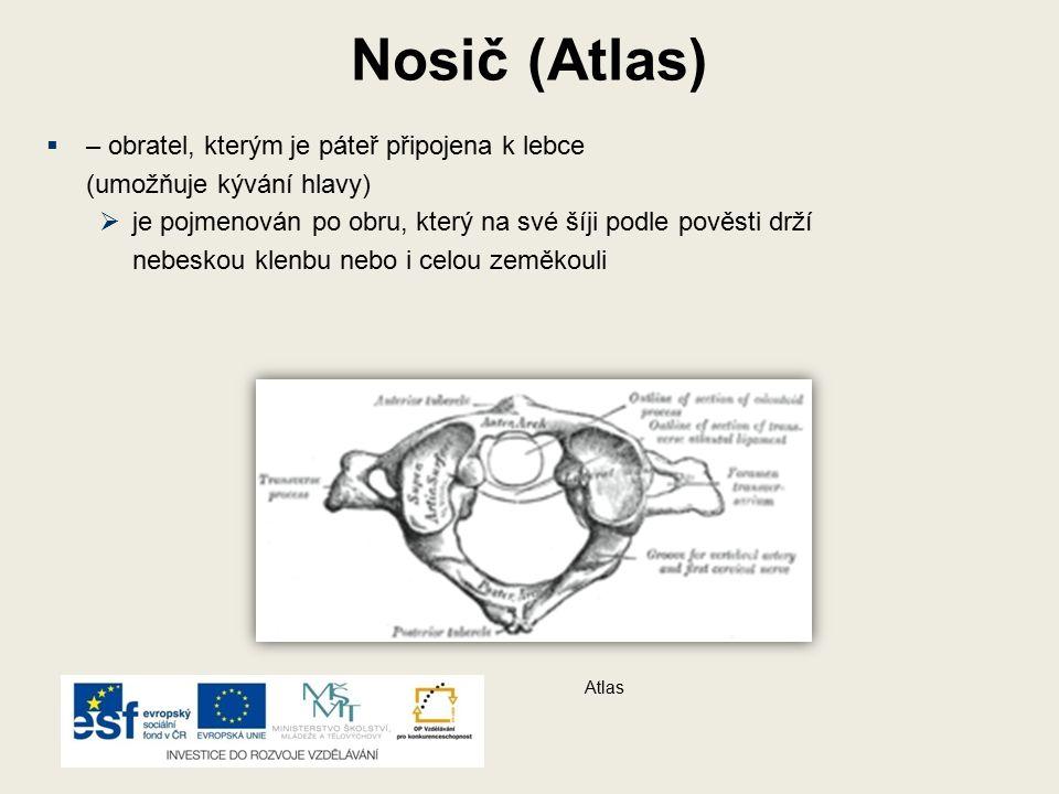 Nosič (Atlas) – obratel, kterým je páteř připojena k lebce