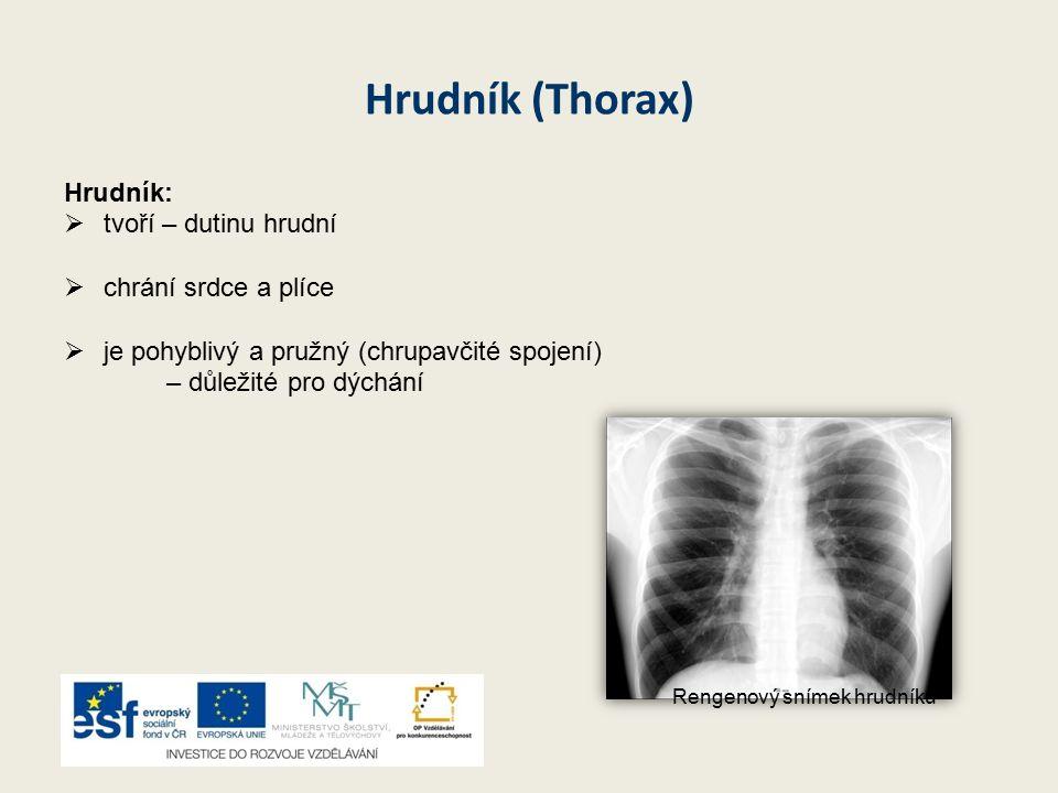 Hrudník (Thorax) Hrudník: tvoří – dutinu hrudní chrání srdce a plíce