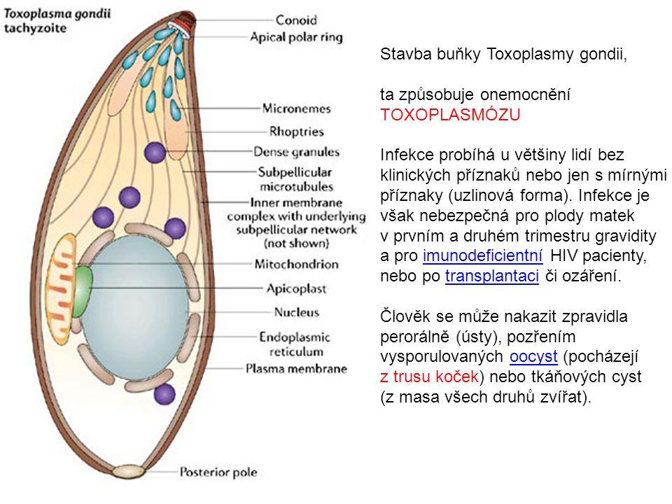 Stavba buňky Toxoplasmy gondii,