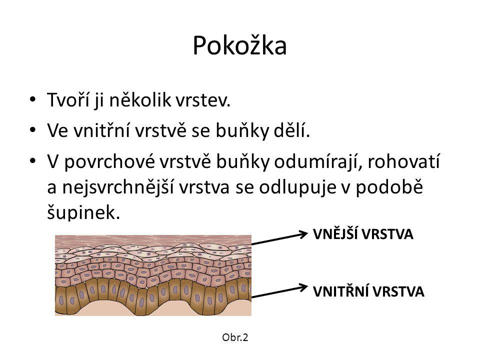 Pokožka Tvoří ji několik vrstev. Ve vnitřní vrstvě se buňky dělí.