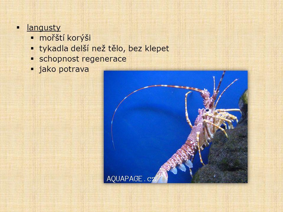 langusty mořští korýši tykadla delší než tělo, bez klepet schopnost regenerace jako potrava