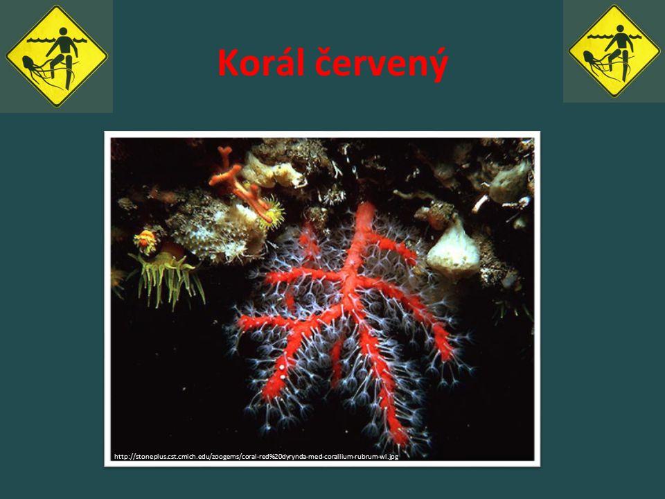 Korál červený http://stoneplus.cst.cmich.edu/zoogems/coral-red%20dyrynda-med-corallium-rubrum-wl.jpg.