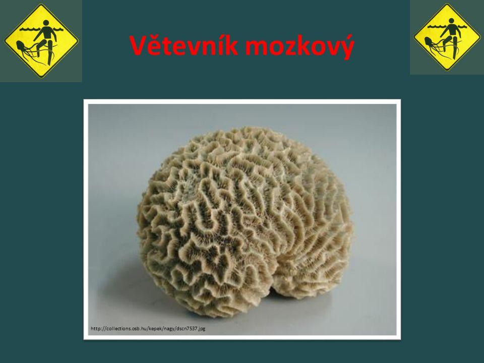 Větevník mozkový http://collections.osb.hu/kepek/nagy/dscn7537.jpg