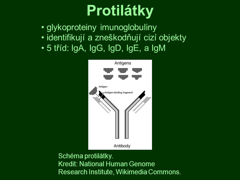 Protilátky glykoproteiny imunoglobuliny