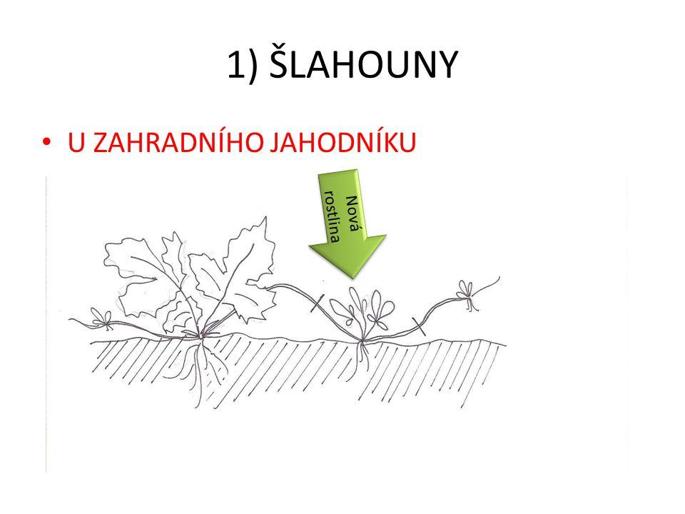 1) ŠLAHOUNY U ZAHRADNÍHO JAHODNÍKU Nová rostlina