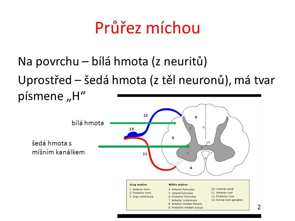 """Průřez míchou Na povrchu – bílá hmota (z neuritů) Uprostřed – šedá hmota (z těl neuronů), má tvar písmene """"H"""