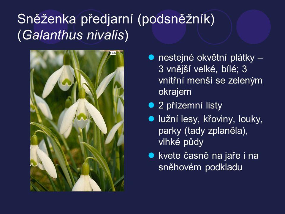 Sněženka předjarní (podsněžník) (Galanthus nivalis)