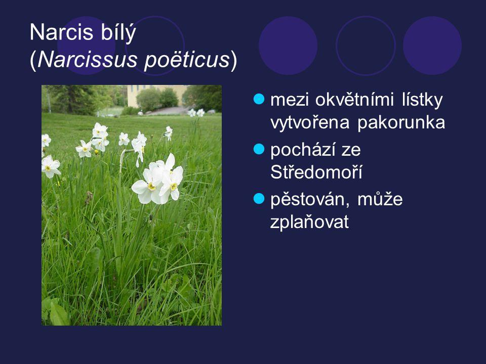 Narcis bílý (Narcissus poëticus)