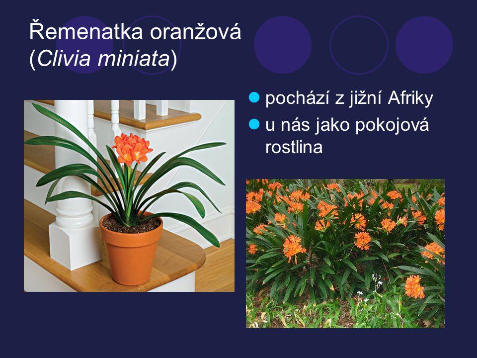 Řemenatka oranžová (Clivia miniata)