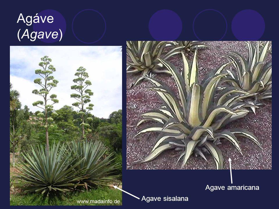 Agáve (Agave) Agave amaricana Agave sisalana