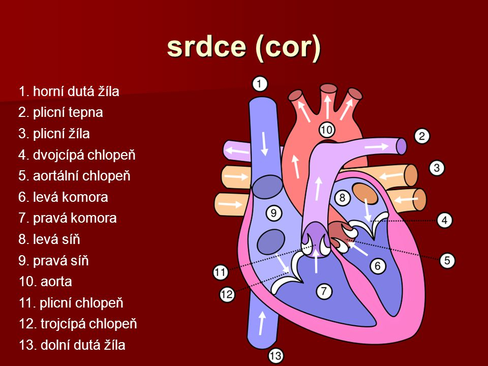 srdce (cor) 1. horní dutá žíla 2. plicní tepna 3. plicní žíla