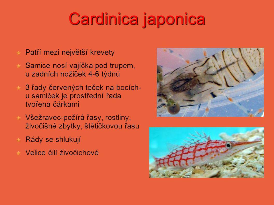 Cardinica japonica Patří mezi největší krevety