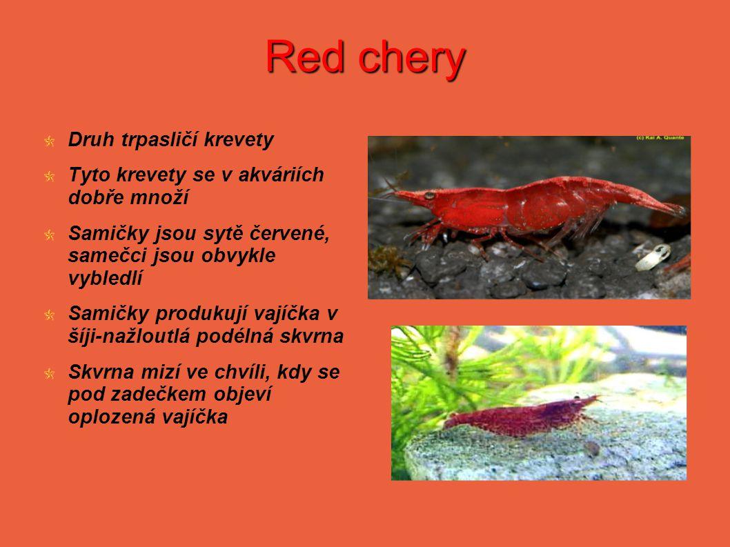 Red chery Druh trpasličí krevety