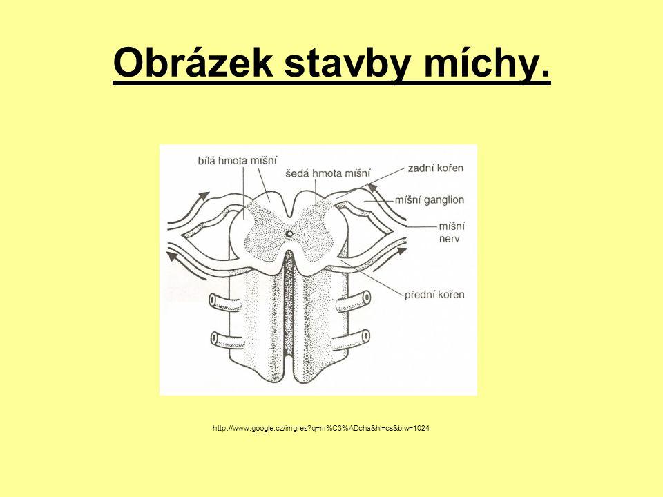 Obrázek stavby míchy. http://www.google.cz/imgres q=m%C3%ADcha&hl=cs&biw=1024