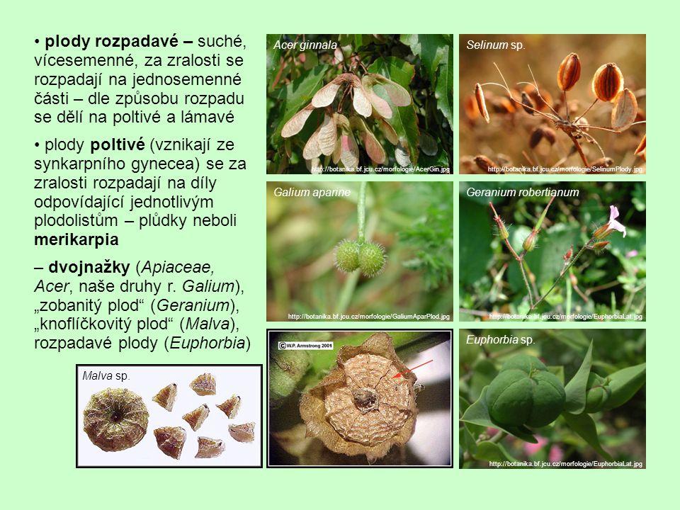 • plody rozpadavé – suché, vícesemenné, za zralosti se rozpadají na jednosemenné části – dle způsobu rozpadu se dělí na poltivé a lámavé