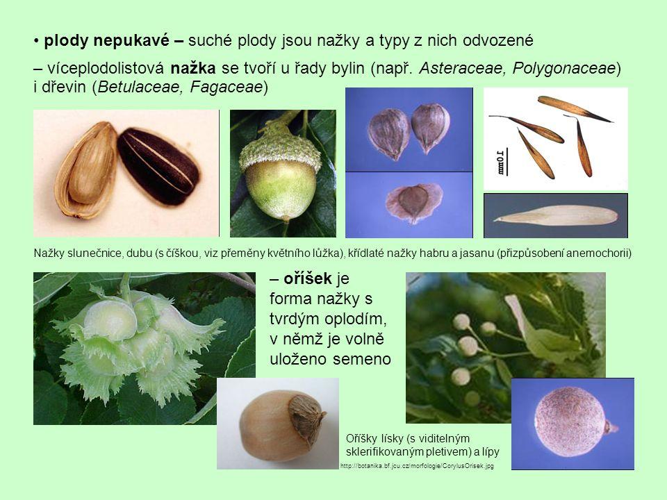 • plody nepukavé – suché plody jsou nažky a typy z nich odvozené