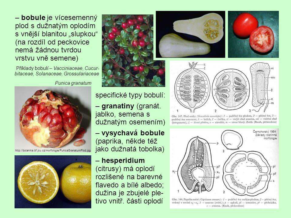 """– bobule je vícesemenný plod s dužnatým oplodím s vnější blanitou """"slupkou (na rozdíl od peckovice nemá žádnou tvrdou vrstvu vně semene)"""