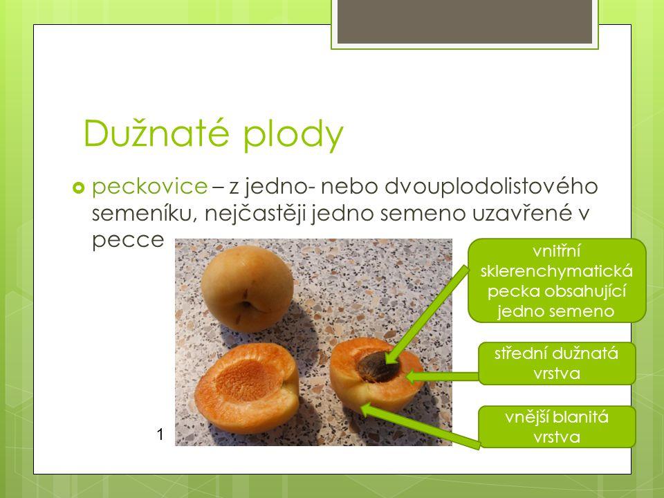 Dužnaté plody peckovice – z jedno- nebo dvouplodolistového semeníku, nejčastěji jedno semeno uzavřené v pecce.