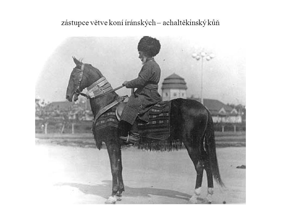 zástupce větve koní íránských – achaltěkinský kůň
